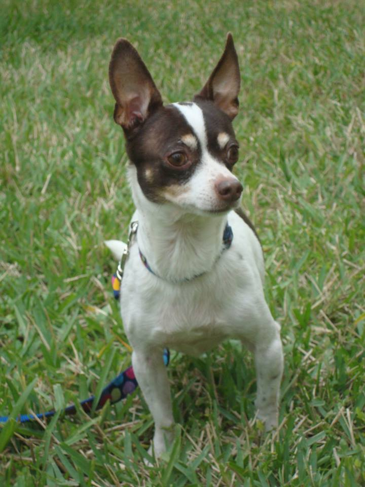 Pico- a Rat Terrier/Chihuahua mix being fostered by Dogma Pet Rescue