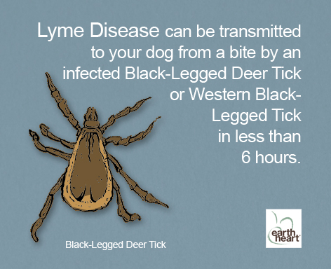 Deer ticks and Lyme Disease