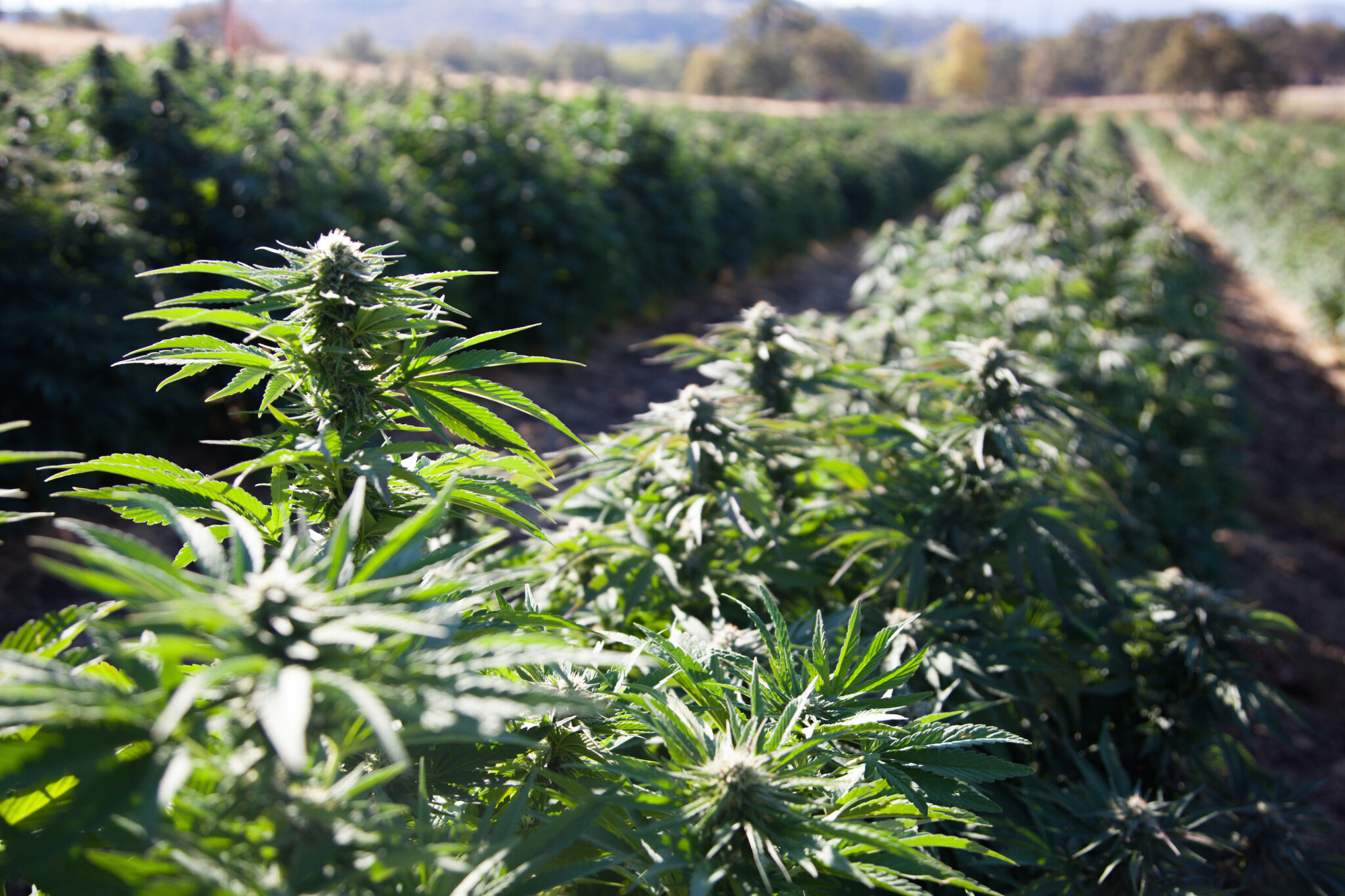 Mother Nature's Genius: Understanding Phytosynthesis Reveals Access to Naturally Occurring but Rare Minor Cannabinoids with Therapeutic Properties