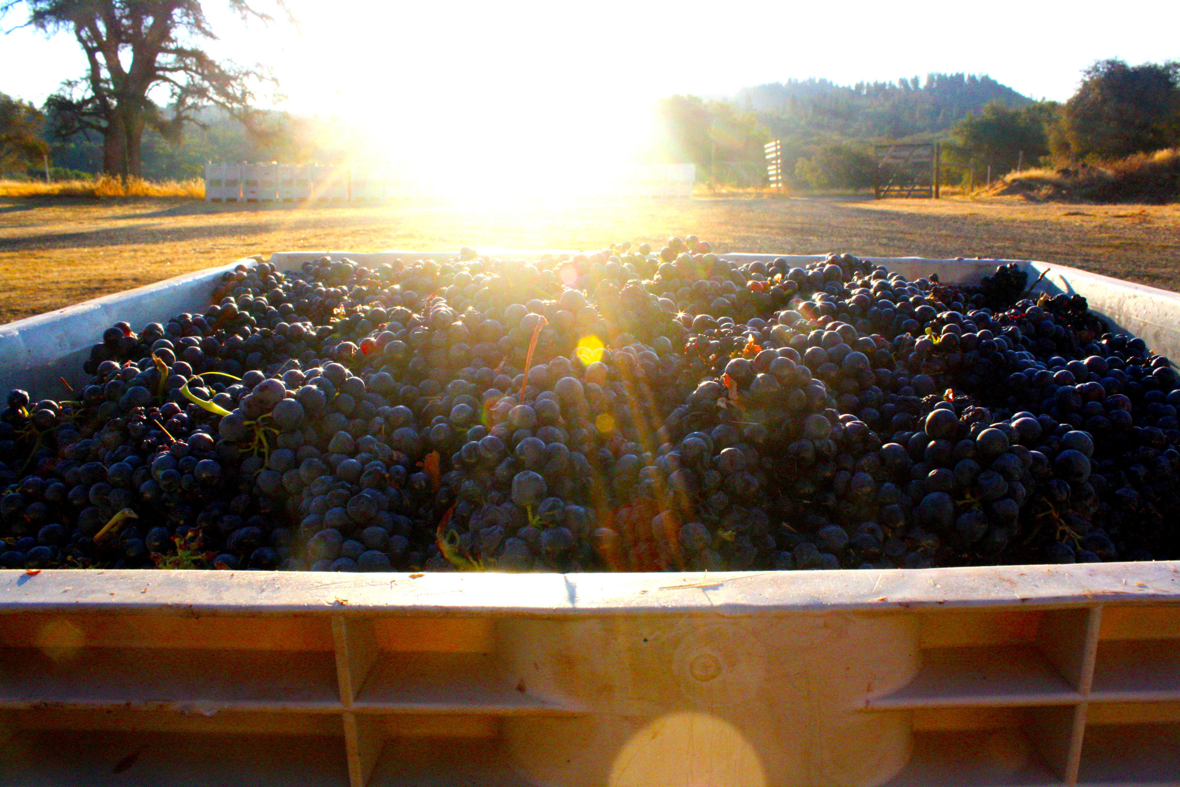 Bin of Grapes at Harvest
