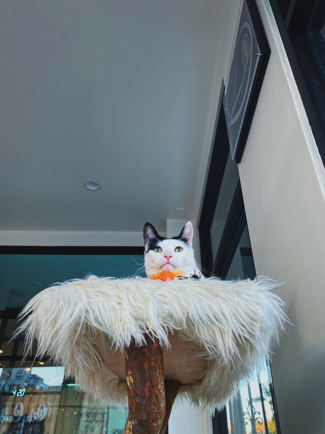 cat on cat tree-feline good social club-lcm