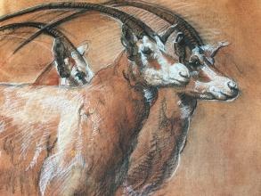 <h5>Endangered Specied, Scimitar Horned Oryx</h5><p></p>