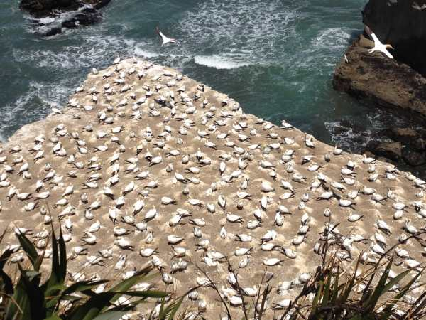 From Kathryn: Gannet colony near Auckland, New Zealand.