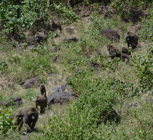 Baboons descending towards Lake Manyara.