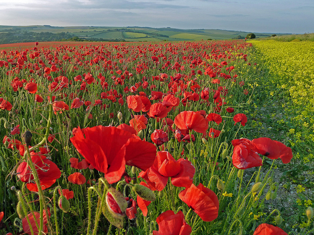 From Suzanne: One close to home here and a crowd of poppies on the South Downs in East Sussex.