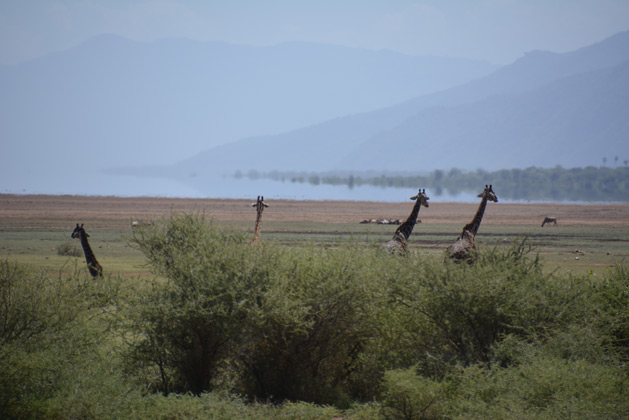 giraffes-lake-safari-629