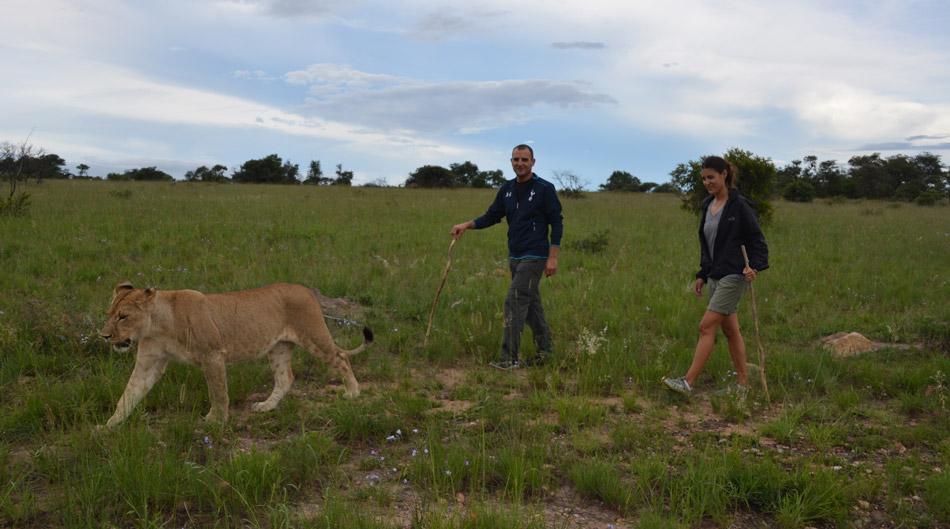 lion-walk-us-350
