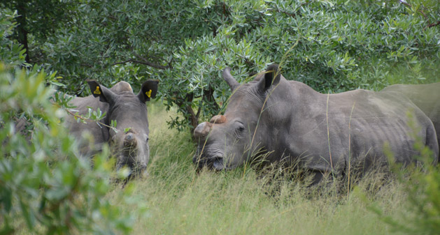 rhinos-first-encounter