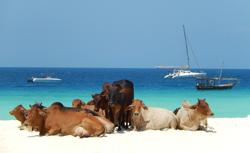 cows-zanzibar