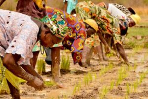 Gambia to benefit from regional rice cultivation project