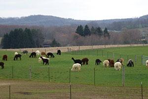 WestPark Alpacas