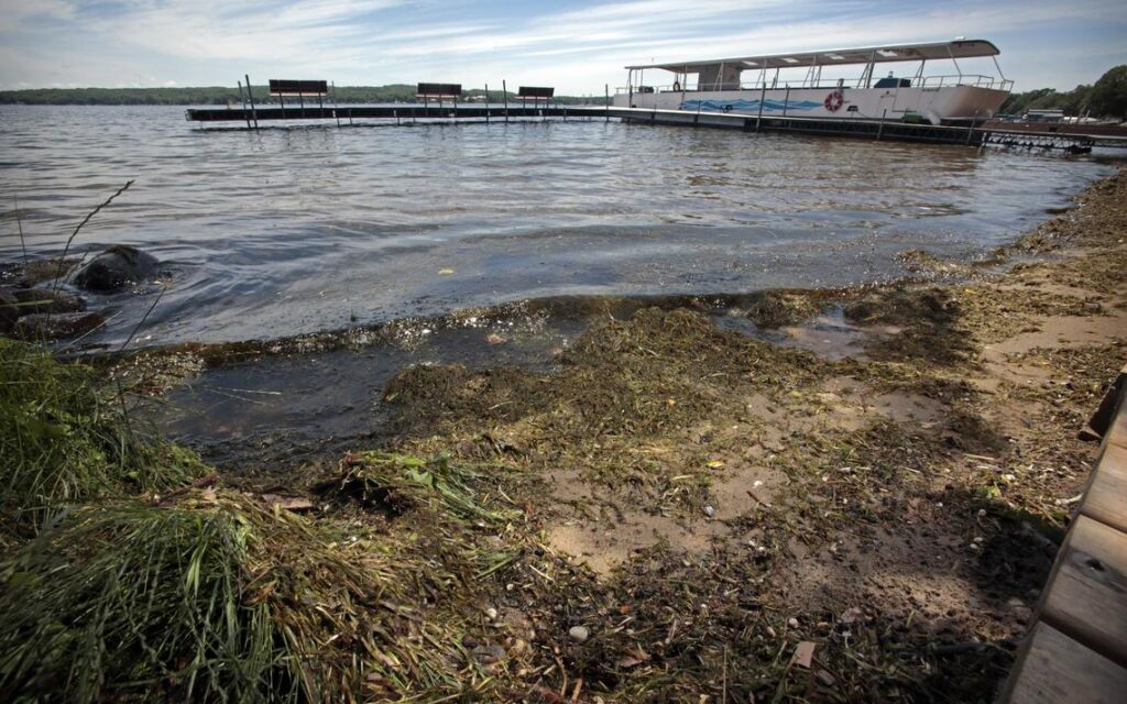 Some residents of Pelican Lake in Otter Tail County in Minnesota believe the presence of zebra mussels has contributed to more weeds washing up on beaches. David Samson / The Forum