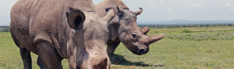 Southern White Rhino Could Save Nearly Extinct Relative