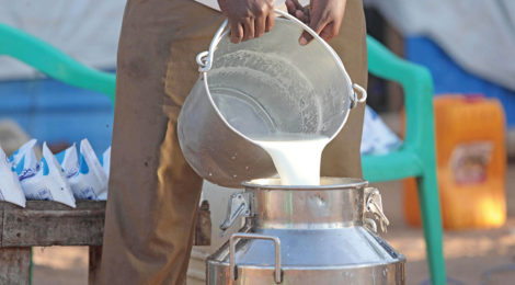 Imported Dairy Cows Jump-Start Mogadishu's Milk Industry