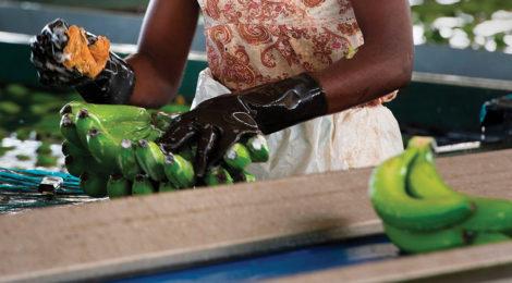 Bananas Help Peel Away Angola's Oil Dependency