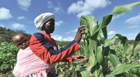 Can Drought-Proof Maize Save Zimbabwe's Farmers?