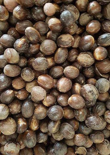 Nutmeg-in-Shell