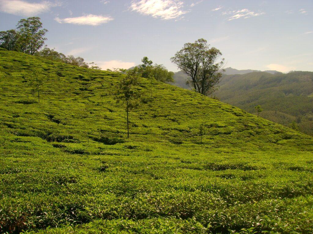 Tea-Plantation