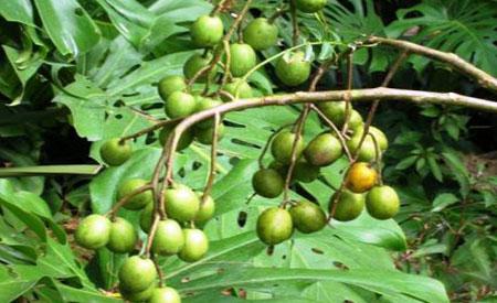 Ambarella-tree