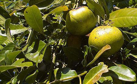 black-sapote-tree
