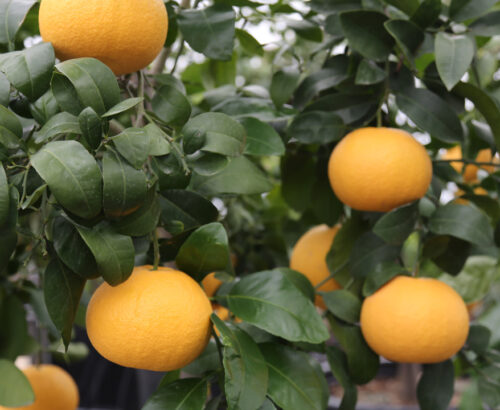 citrus trees-main