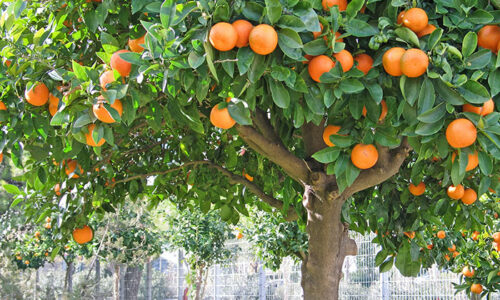fruit trees main