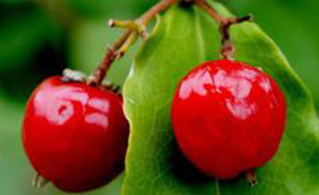 Barbados-Cherry-3