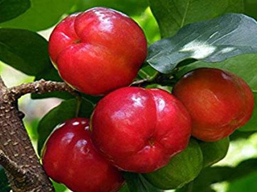Barbados Cherry
