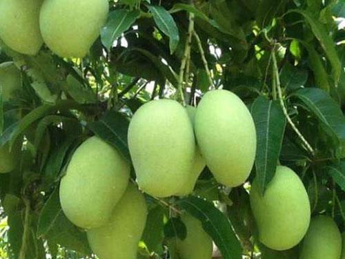 Cac Mangoes
