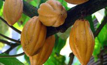 Cacao-2