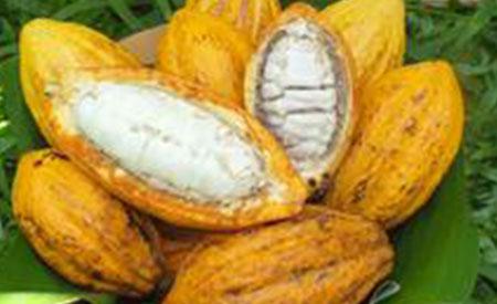 Cacao-4
