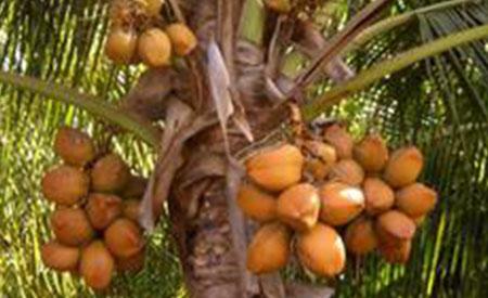 Coconuts-4
