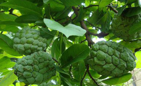 Custard-Apple-1