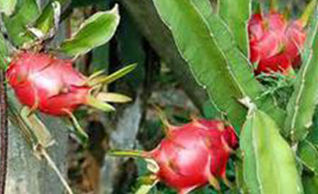 Dragon-Fruit-4