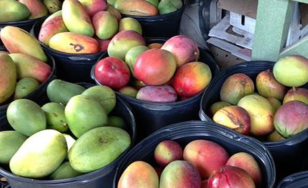 Fruitscapes-Mango-Fest-2018-2