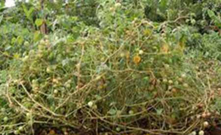 Gooseberry-4