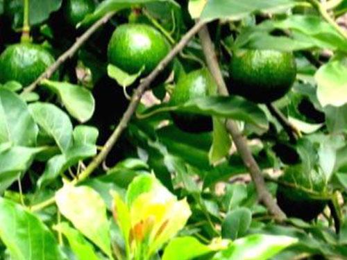 Marco's Pumpkin Avocado