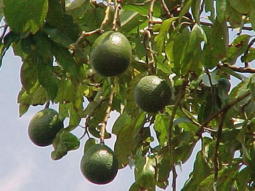 Monroe Avocado