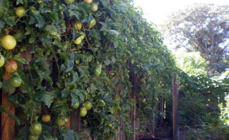 Passion-Fruit-1