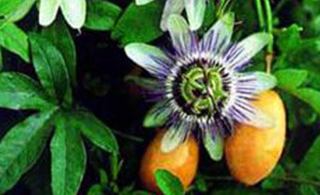 Passion-Fruit-2