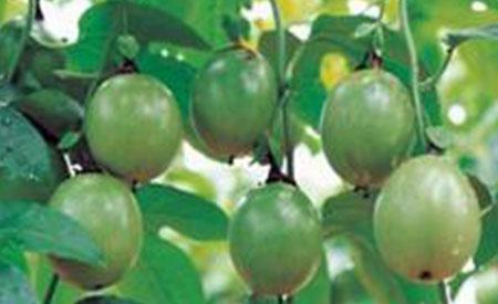 Passion-Fruit-4