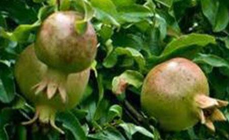 Pomegranate-4