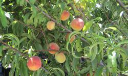 fruitscapes-nursery-2