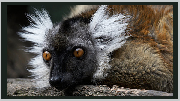 Black Lemur: an endangered species. Photo by Endangered Species Journalist Craig Kasnoff