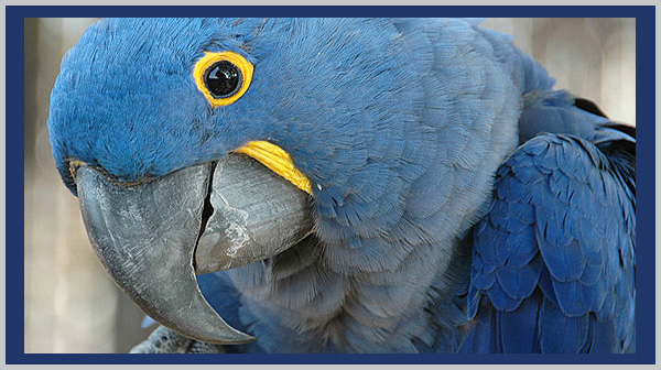 Blue Hyacinth Macaw: a vulnerable species. Photo by Endangered Species Journalist Craig Kasnoff