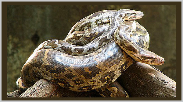 Indian Python: a vulnerable species. Photo by Endangered Species Journalist Craig Kasnoff