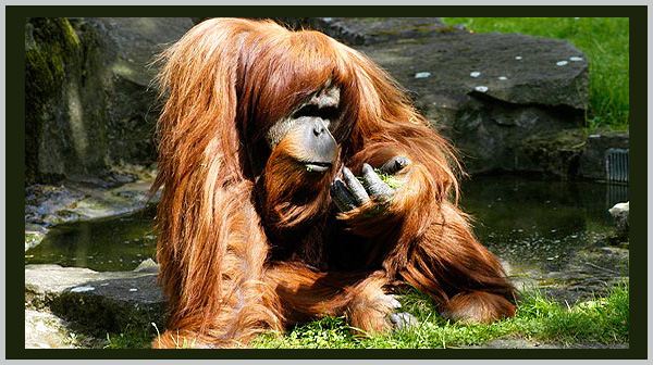Orangutan: an endangered species. Photo by Endangered Species Journalist Craig Kasnoff