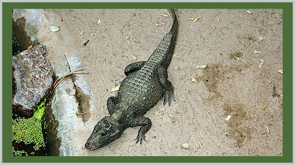 Dwarf Crocodile: a vulnerable species. Photo by Endangered Species Journalist Craig Kasnoff