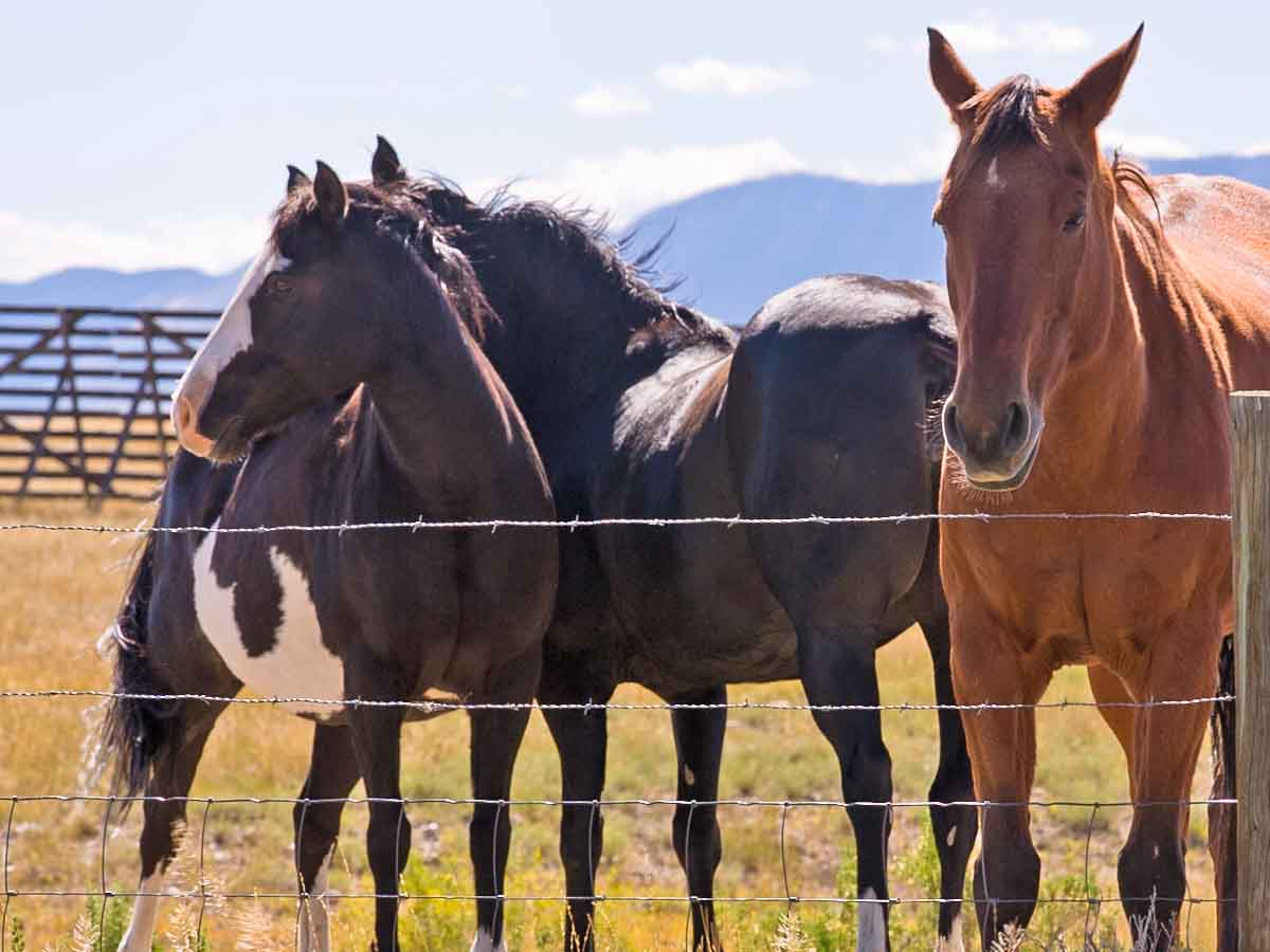 Wild horses in SE Wyoming congregating near a snow fence.