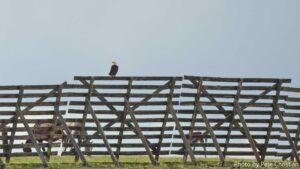 A snow fence in Wyoming with a bald eagle.
